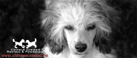 ChineseCrested.no - The ultimate information site and pedigree database for Chinese Crested dog