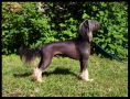 Showmann z Jasne hvezdy Chinese Crested