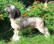 Shanel Glamour Look No Tuch Chinese Crested