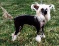 Babylon Scarlet Winged Hera - DOM Chinese Crested