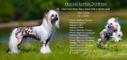 Olegro Katrin Douphin Chinese Crested