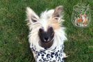 Ksolo Club Zimaleta Chinese Crested