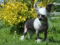 Ksolo Club Tiara Chinese Crested