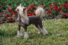 Dee-kay's Leone Hurricane Lord Chinese Crested