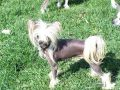 Roc N Win The Jig Is Up Chinese Crested