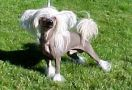 Beddi's Jackpot Chinese Crested