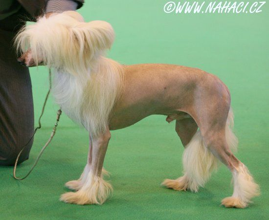 I shaved my legs for this chinese crested