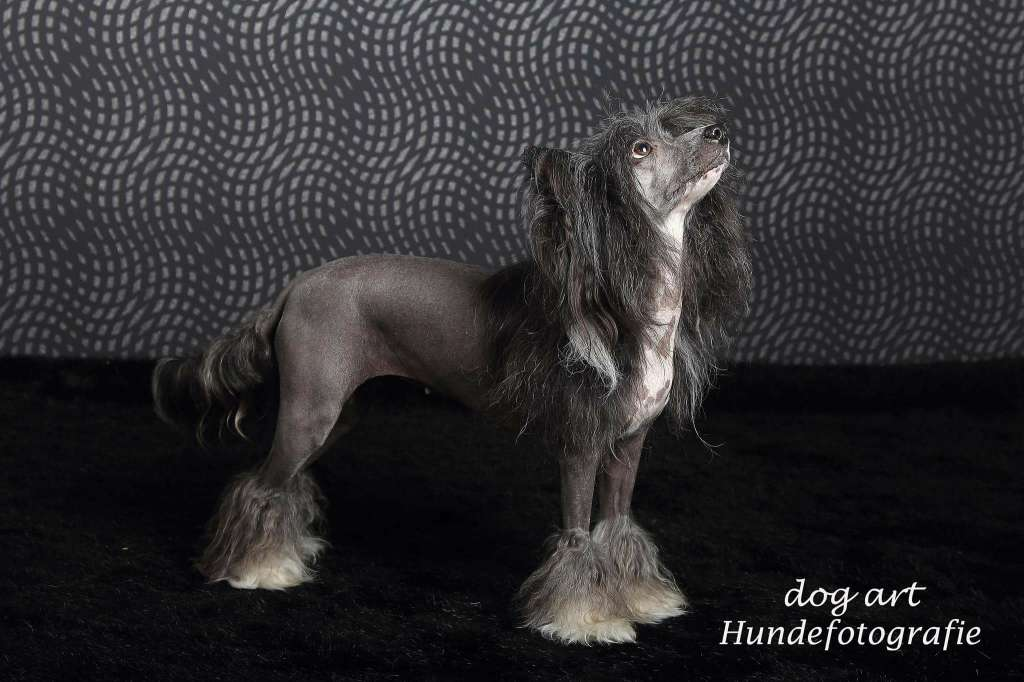 Chinese crested dog hotlist von shinbashi female hairless for Andy panda jardin