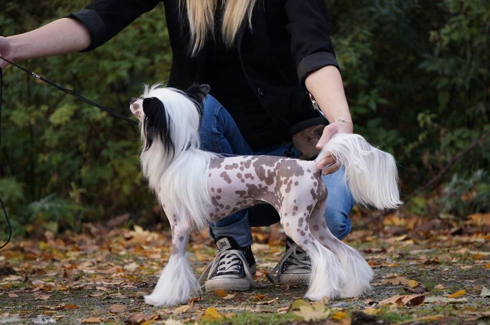 Chinese crested dog xquisit von shinbashi female hairless for Andy panda jardin