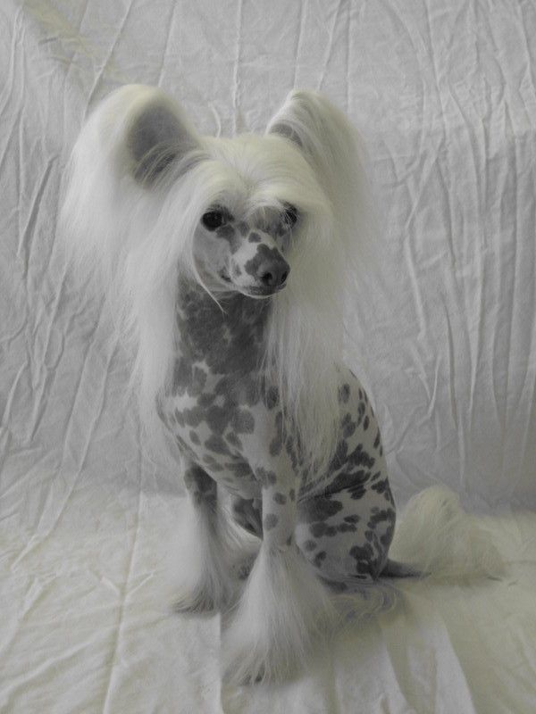 N'co Chinese Cresteds Chinese Crested Dog - ...